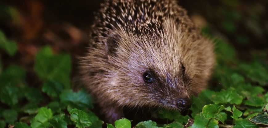 Liverpool Loop Line, Sustrans, hedgehogs, wildlife conservation