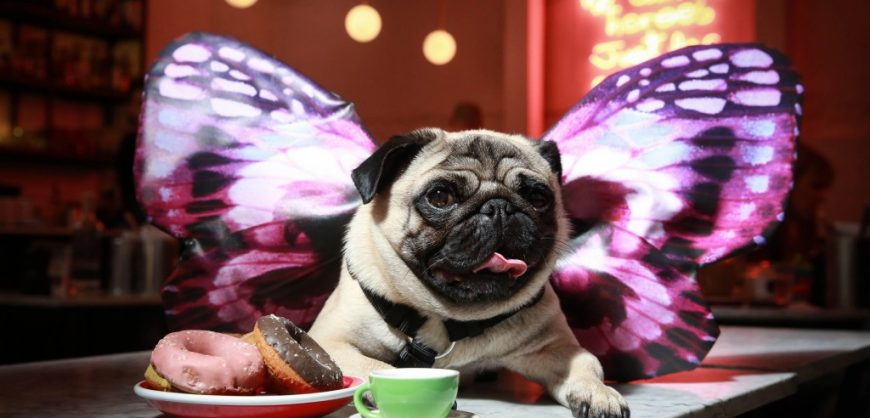 dog lovers. All You Can Pug Brunch
